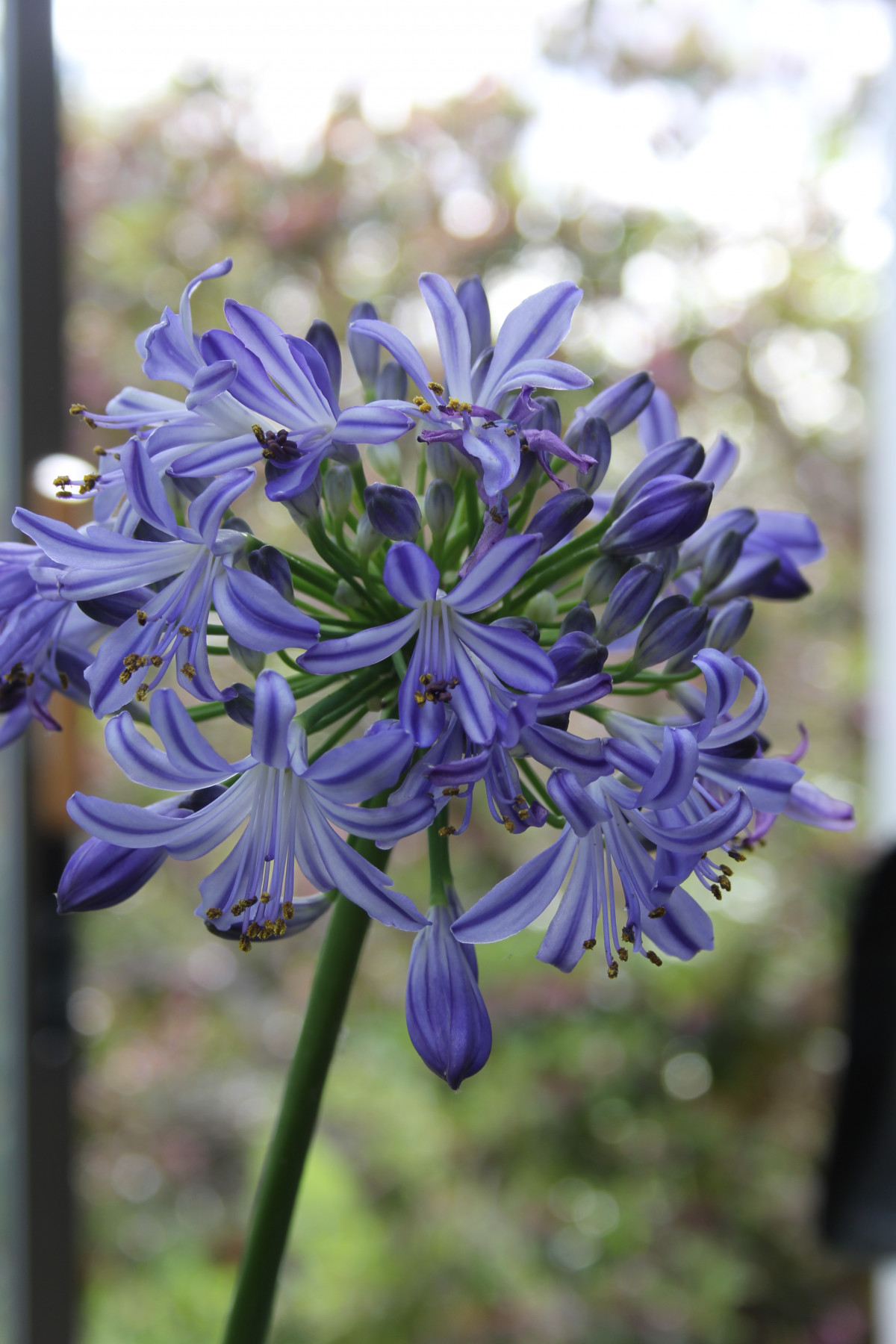 Growing Agapanthus By Roger Marshall