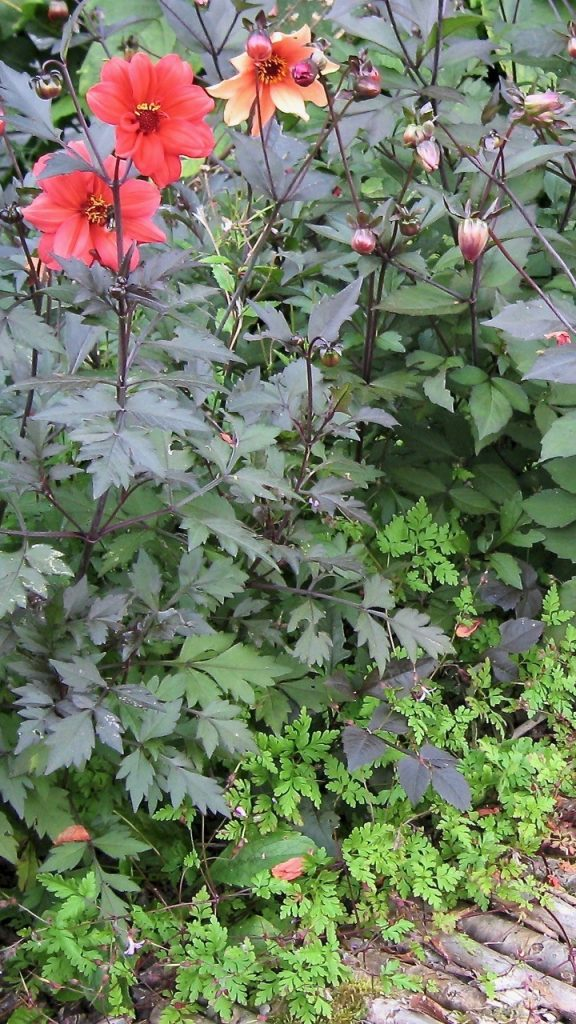 Herb Robert's at home beneath my dahlias.