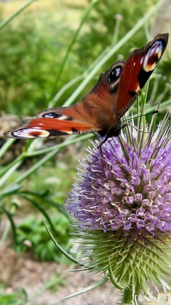 Teasels fuel-up butterflies in summer.