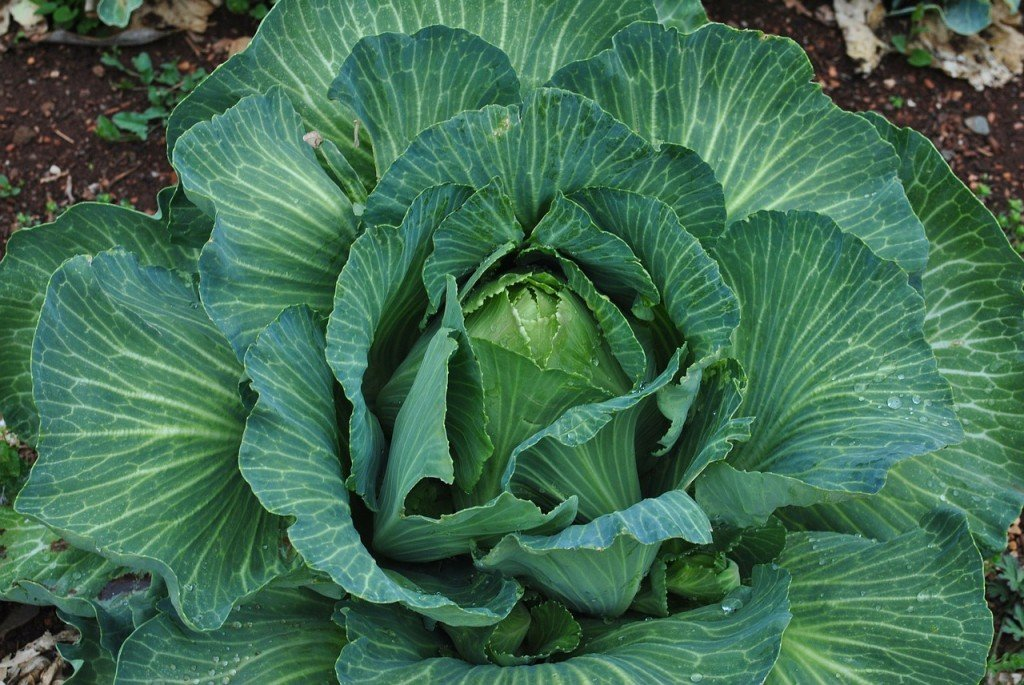 Large Cabbage