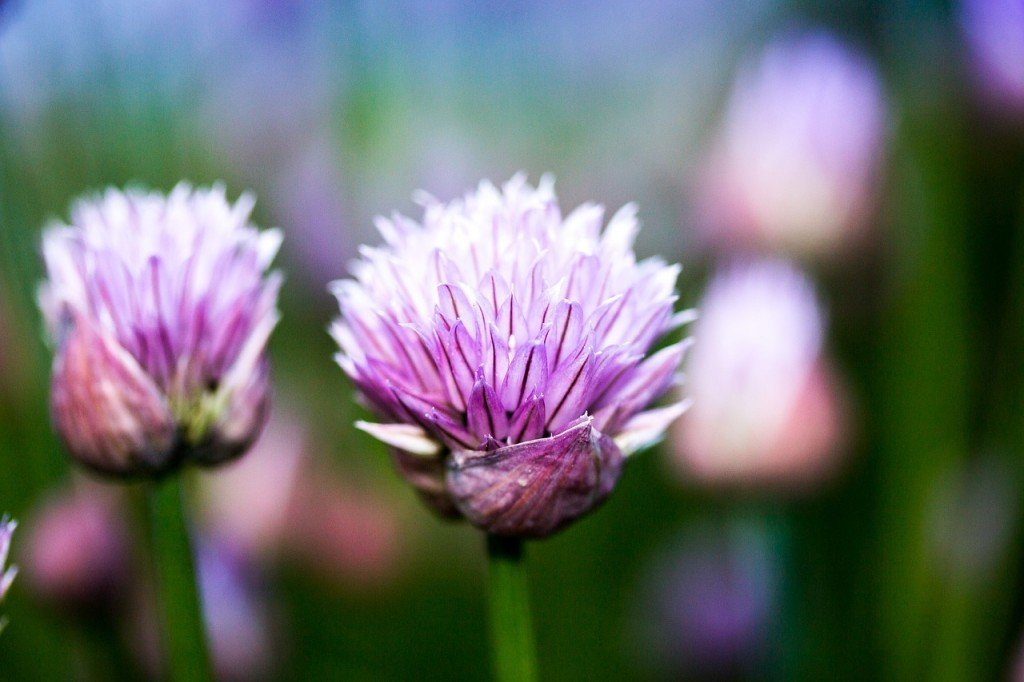 chives-891519_1280