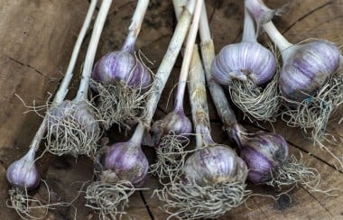 Freshly plucked garlic
