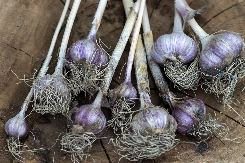 Garlic uprooted