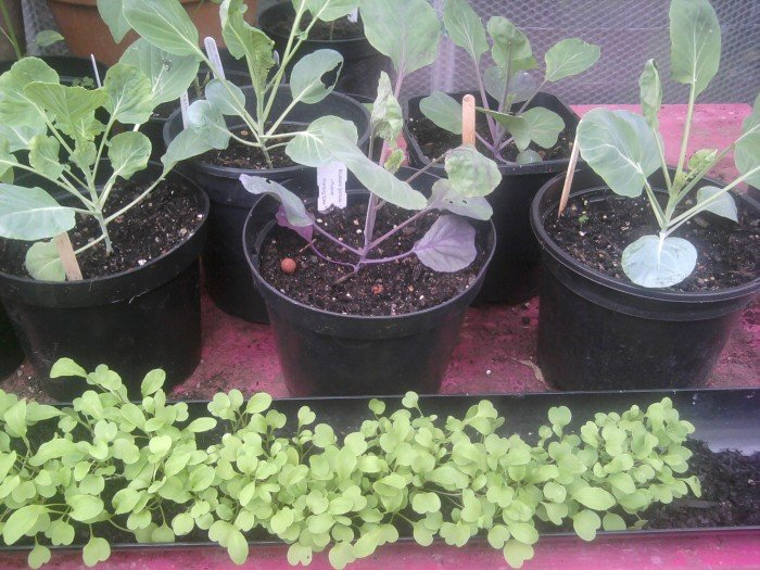 Growing Brassicas
