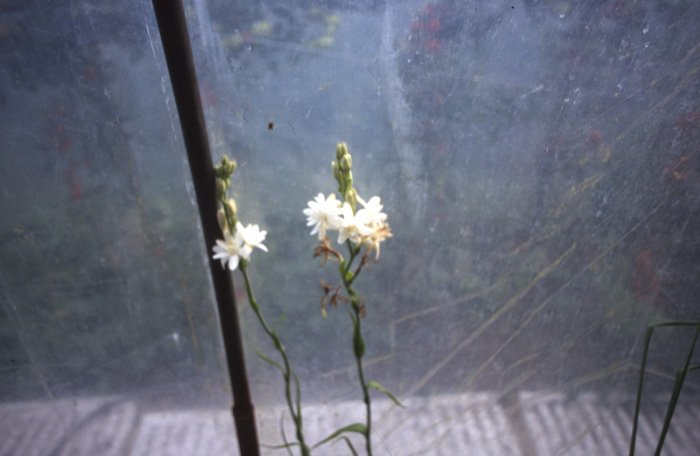 polianthes flowers