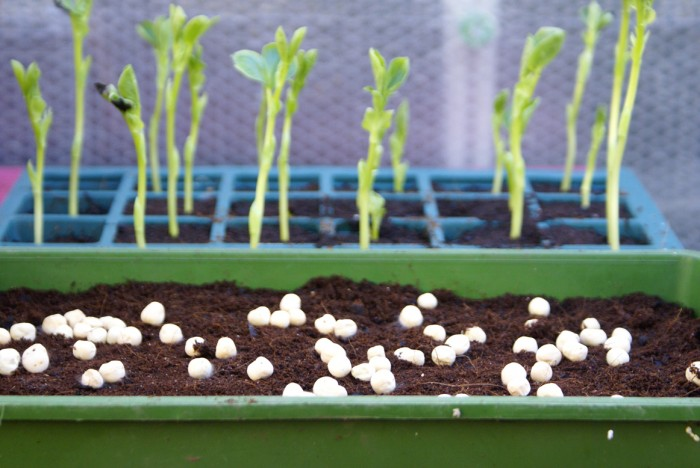 Beans-and-Peas-Jan2013