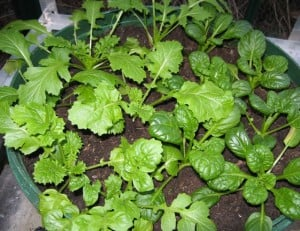 'Mispoona' (left) and tatsoi 'Yukina' were just two of the crunchy, flavoursome winter greens I harvested by torchlight for my 'power cut salad'.
