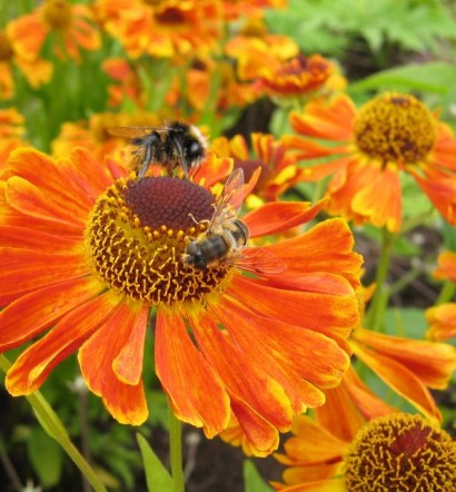 Helenium or sneezeweed, a summer-flowering perennial and magnet for bees and other pollinators, is just one of a long list of flowers suitable for growing in a flood-relieving rain garden.
