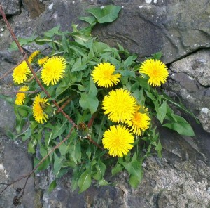 A single seed of pissy beds parachuting itself into a crack in a sunny wall will reward you with some of the earliest of spring flowers.