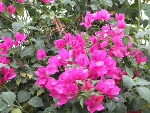Bougainvillea 4 Oct2014