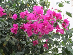 Bougainvillea Oct 2014