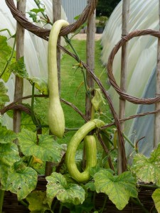 Tromboncino Squash on the Growing Screens
