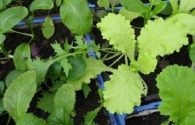 Green salad leaves