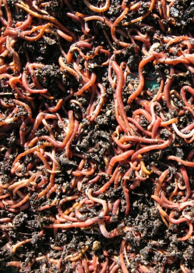 Compost worms turn and churn everything that goes into my 'cool' compost bins. Harvesting the result is the greenest day of my gardening year.