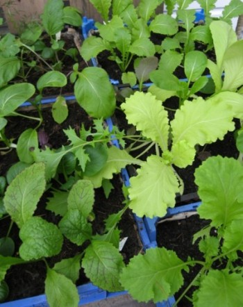 Green and tasty salad greens tick over all winter in my unheated greenhouse.