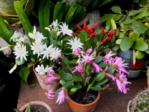 Easter cactus 6