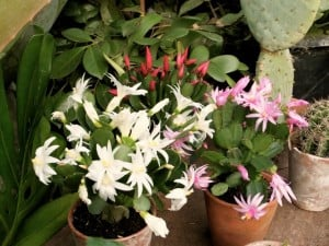 Easter cactus 7