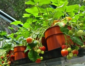Powered by free and non-polluting sunshine, the first delicious strawberries are just weeks away.