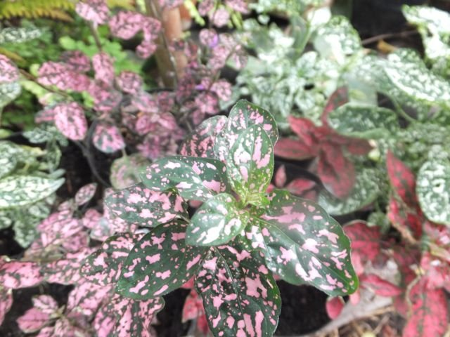Fittonia cup Aug 2015