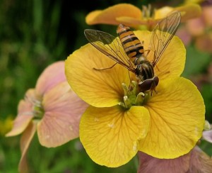 No hype needed: an adult hoverfly foraging on erysimum during a pause between egg-laying.