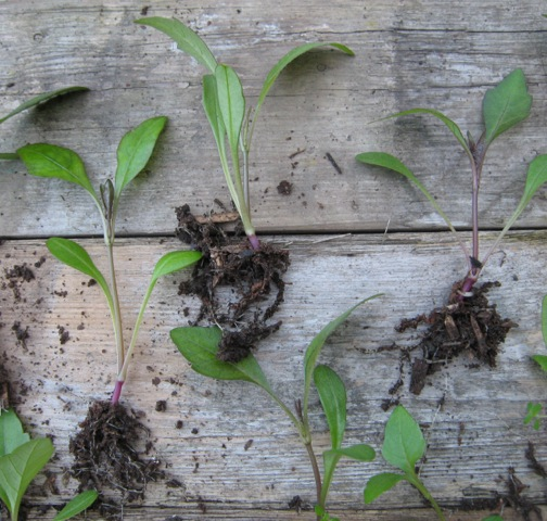 Dahlias sown in my leaf mould/compost/wood chip mix produced strong seedlings with healthy roots.