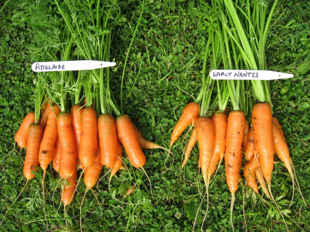 Carrots in previous pigeon free years - Jun 2016