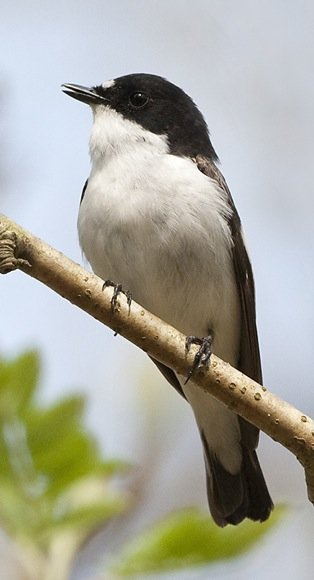 Migrants such as pied flycatchers are welcome in my garden – for the sheer joy they bring.