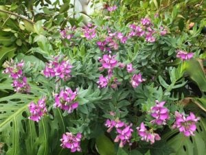 Polygala-16-July-2016