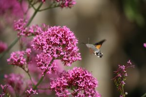 hummingbird hawkmoth uncropped 2 copy - July 2016