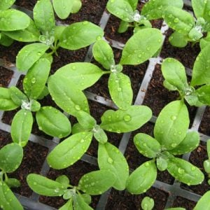 Young green plants in peat free compost