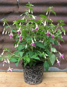 Fuchsia 'Mini Rose' grown on peat free compost
