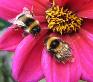 bees collecting pollen from pink flower