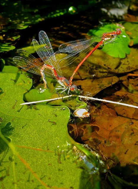 Large red damselflies courted and cavorted above short-lived mini ponds.