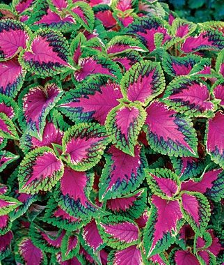 watermelon coleus - Nov 2016