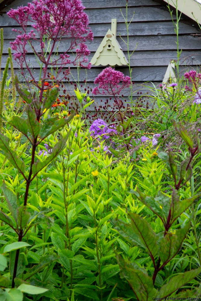 Eupatorium purpureum 'Riesenschirm', bird boxes on shed wall, sanguisorba, phlox