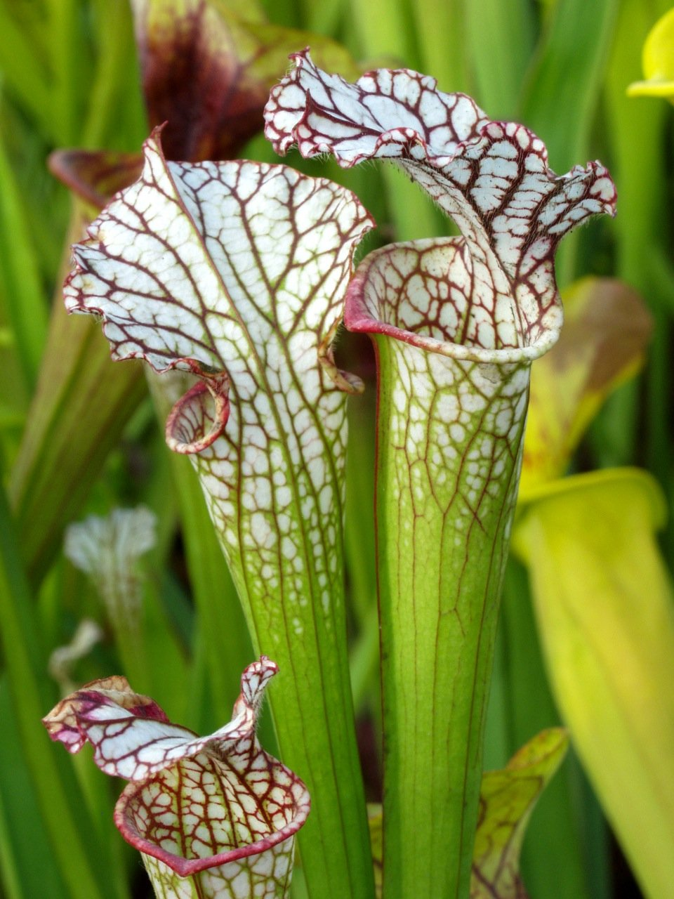 Pitcher plants are fabulous plants to grow.