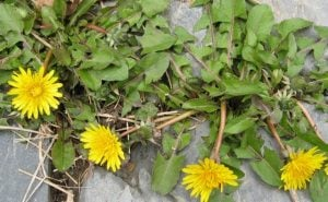 Dandelions, which benefit countless insect species, seed and grow wherever they want.