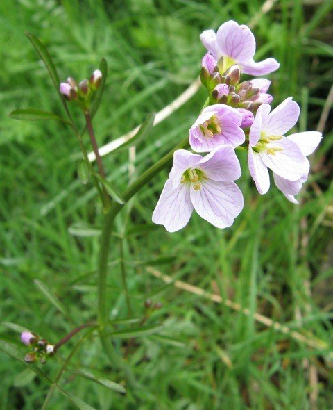 Lady's smock, courted by orange-tip butterflies, have made a comeback since nature-obliterating sheep have been fenced out.