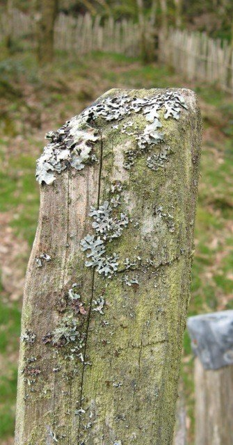My lichen-encrusted sweet chestnut fence has a character all of its own.