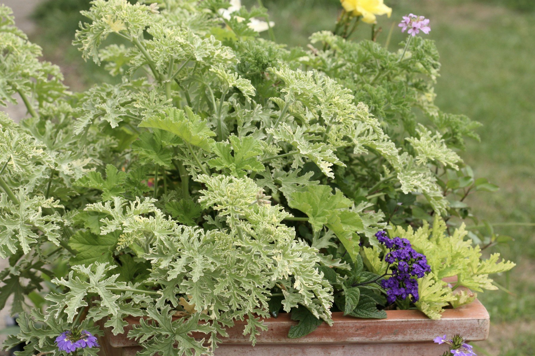 waterwise container of scented pelargoniums