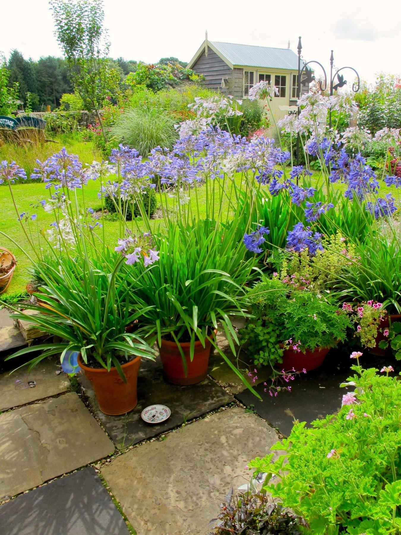 agapanthus in pots2 - June 2017