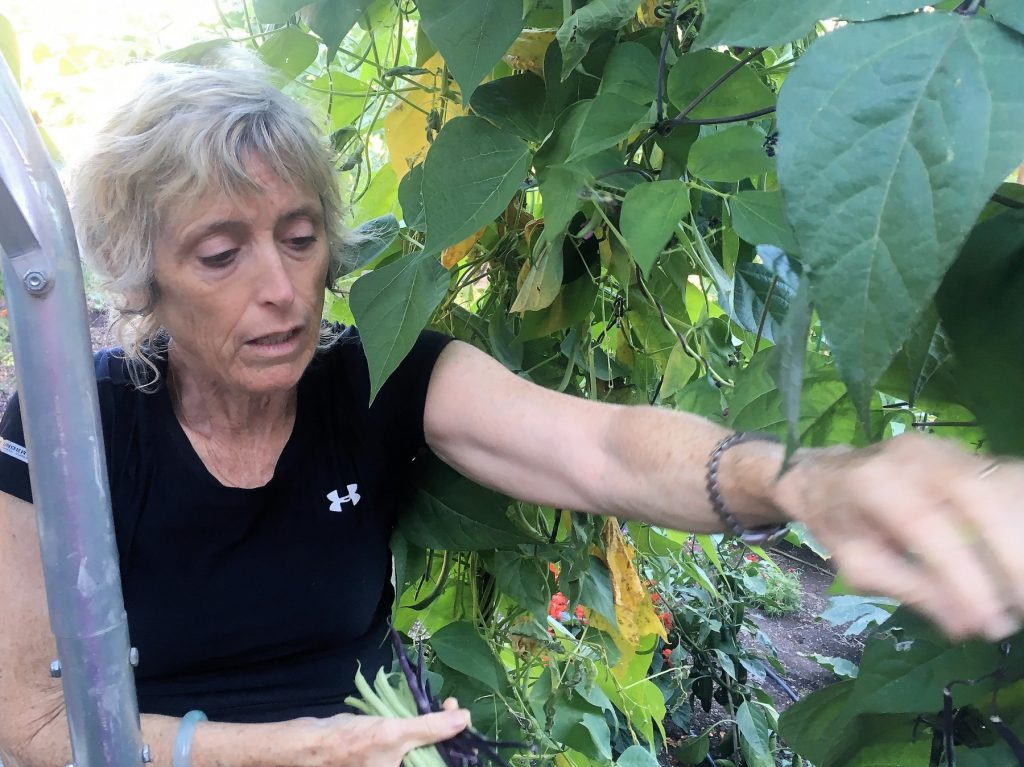 Stephanie Niedermyer harvests snap beans in mid-summer