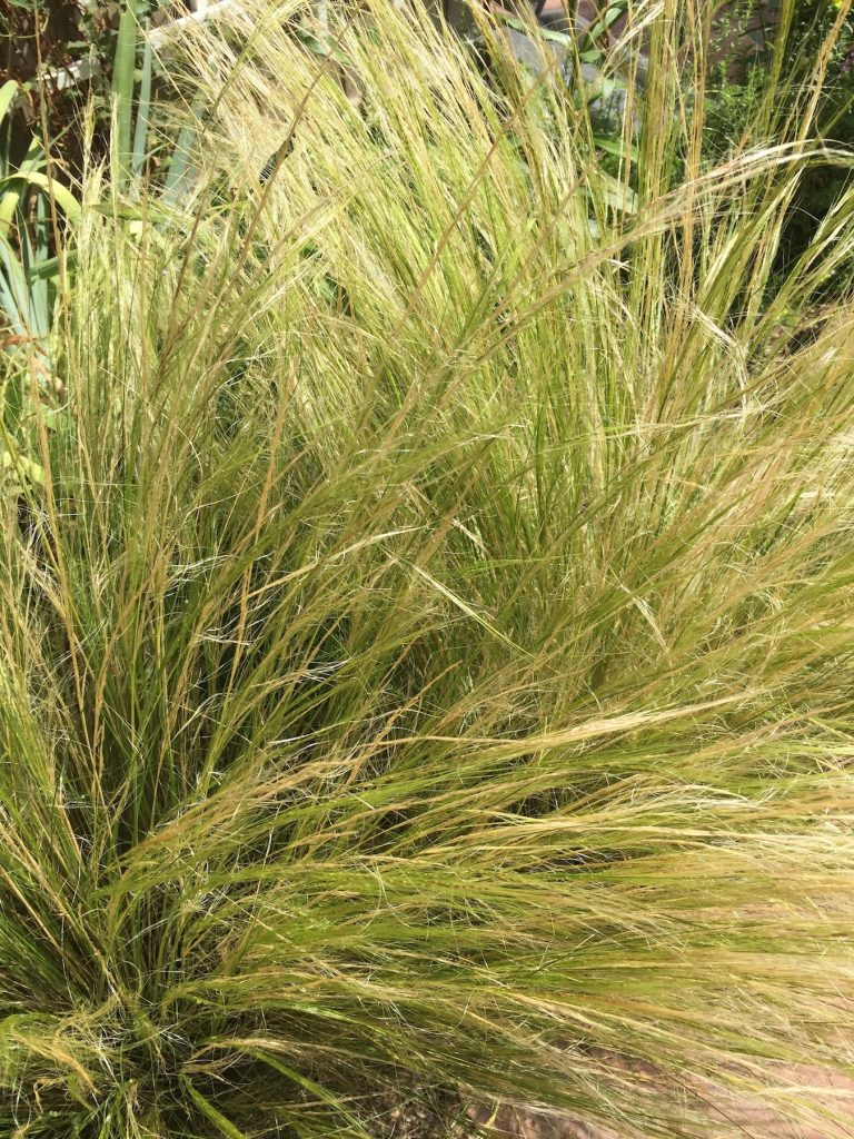 Mexican feather or hair grass, Nassella tenuissima, is the Rapunzel of the garden.