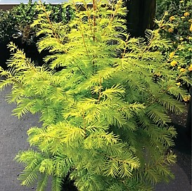 Amber Glow dawn redwood will achive 35 feet in 25 years