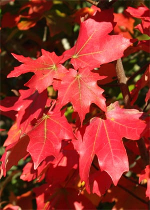 Mesa Glow maple combines easy care and fabulous fall color