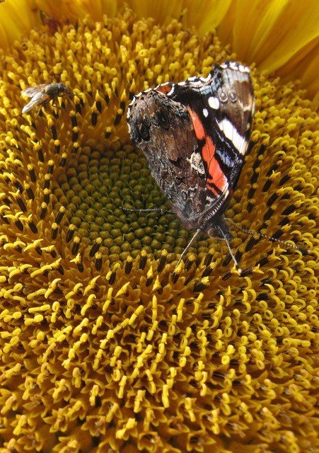 My sunflowers are ideal landing pads for red admiral butterflies and myriad other pollinators, such as flies.