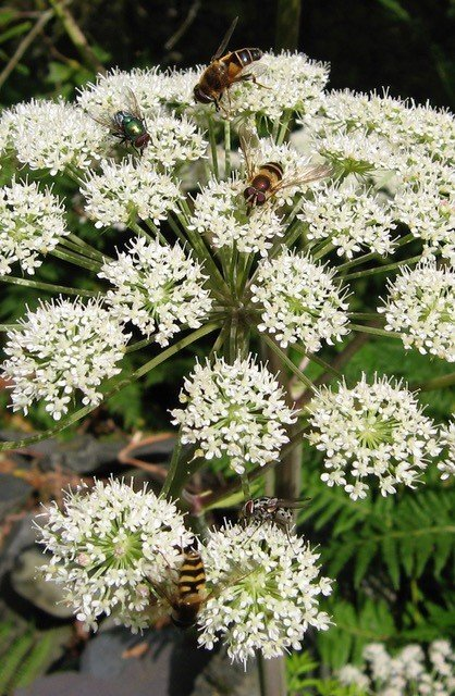 Common hogweed marshals its florets into a flattish raft called an 'umbel', which attracts insects of all shapes and sizes.