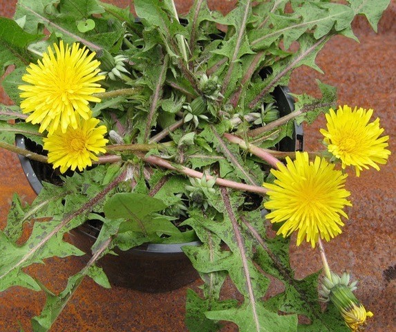 Tap into one of nature's best landing pads by growing dandelions in pots.
