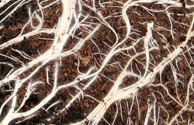 Roots to impress on tomatoes potted in SylvaGrow Multipurpose.